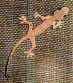 lizardindia